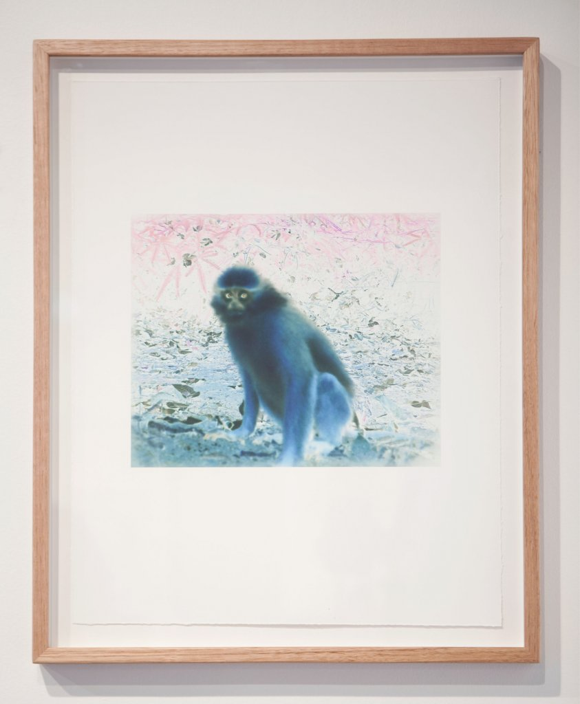 <div>Janet Laurence,<em>  Fabled 9 – Mitred monkey (presbytis melalophos), </em>2011 camera-trap images of animals in the wild of Aceh, Sumatra archival pigment prints on cotton rag,  image 25 x 30 cm</div>